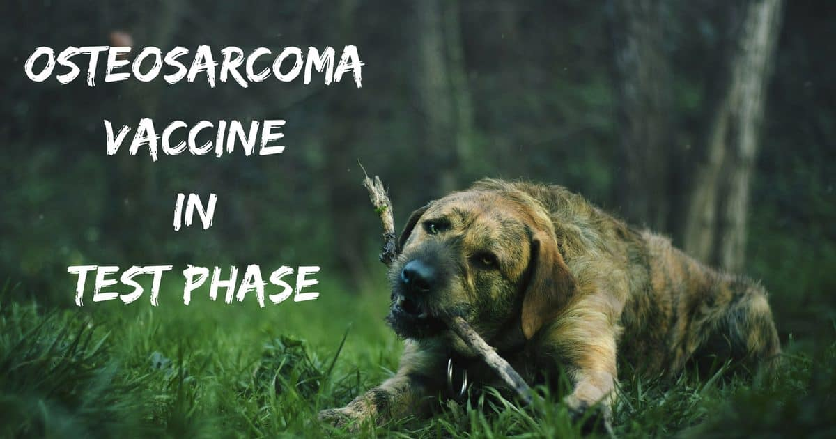 Osteosarcoma vaccine in test phase