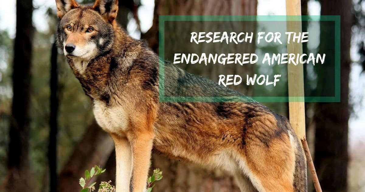 Research for the Endangered American Red Wolf