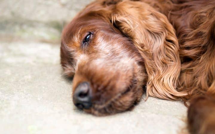 sad dog laying I love Veterinary