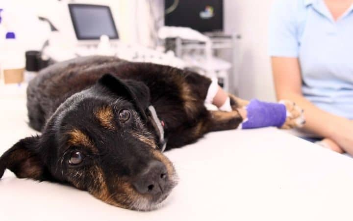 dog laying on veterinary table I love Veterinary