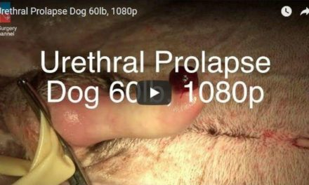 Urethral Prolapse Dog Video