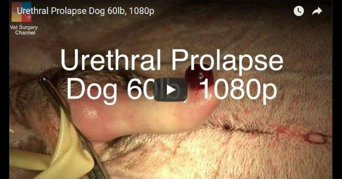 Urethral Prolapse Dog Video