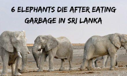 6 Elephants Die After Eating Garbage in Sri Lanka