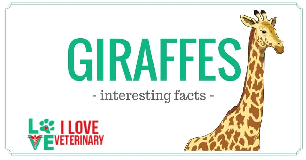 giraffe cover photo