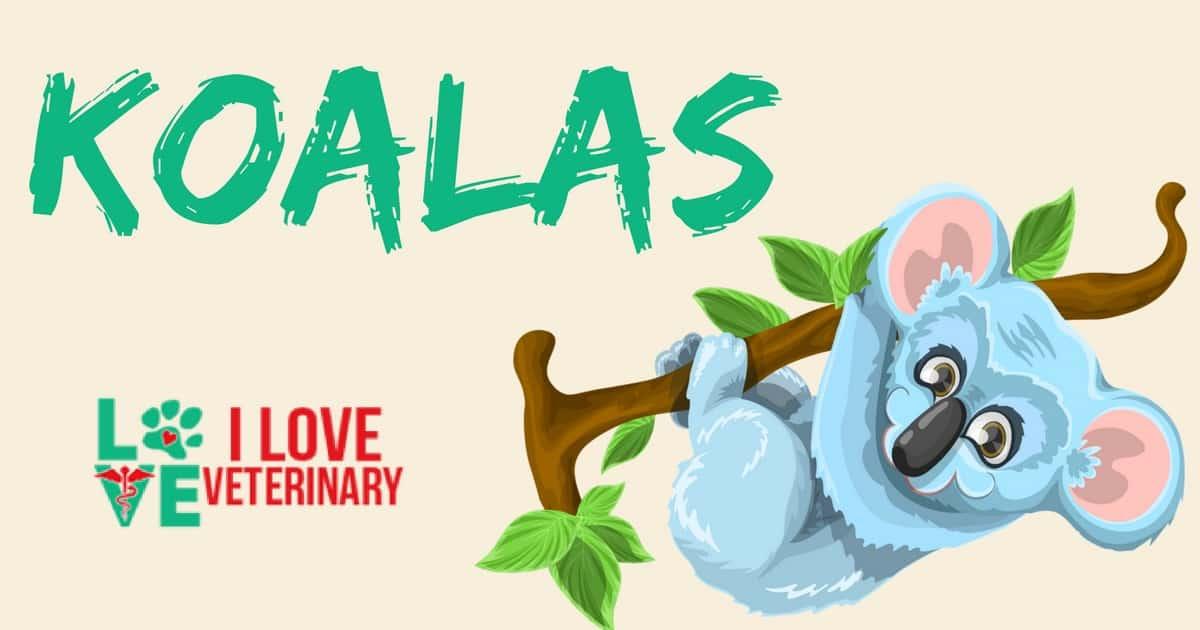 koala ilustration