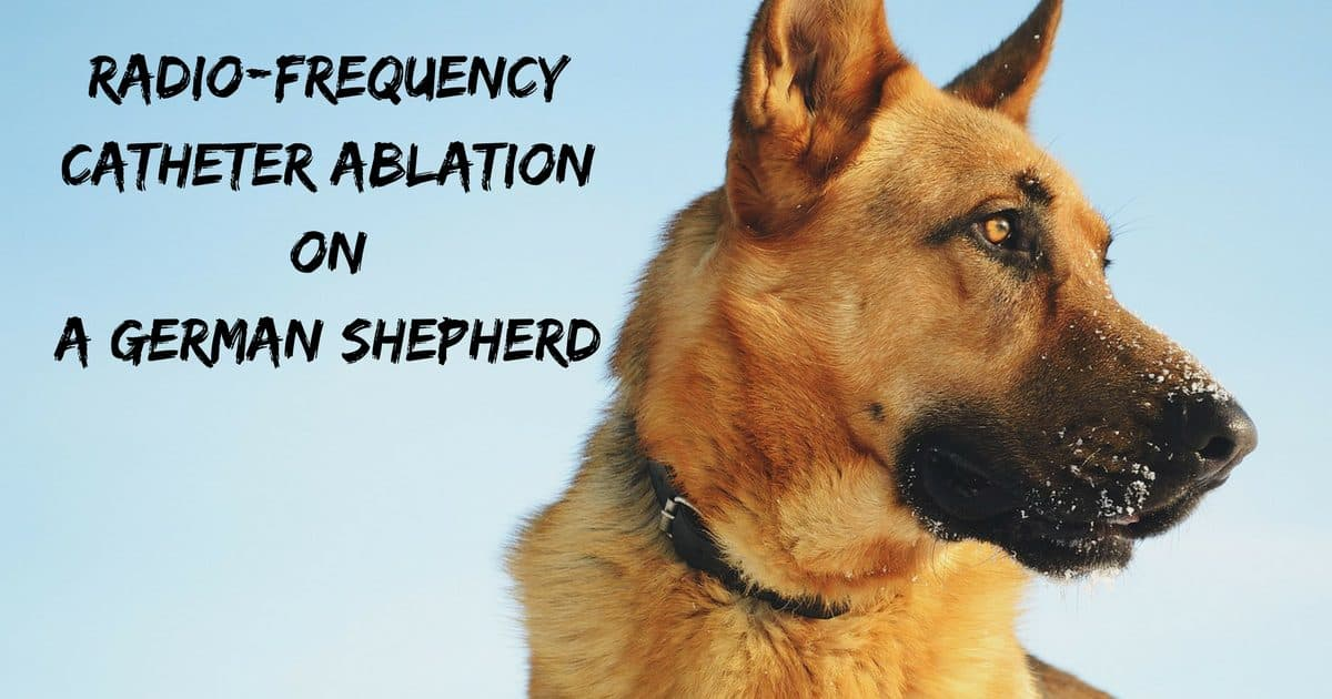Radio-frequency catheter ablation on a German Shepherd
