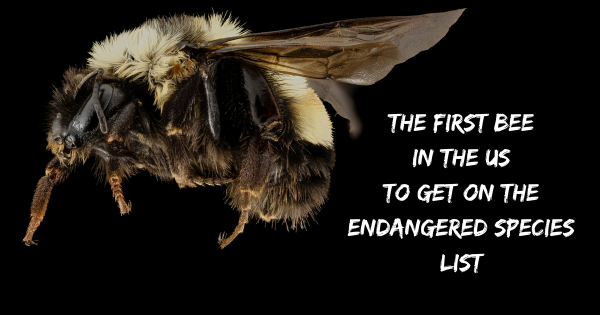 The first bee in the US to get on the endangered species list