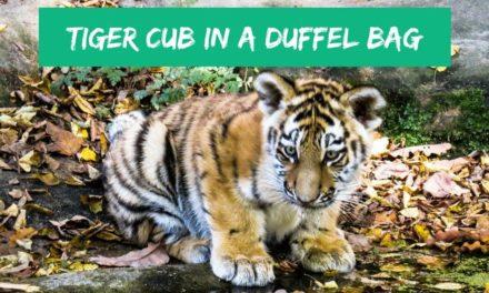 Tiger cub in a duffel bag