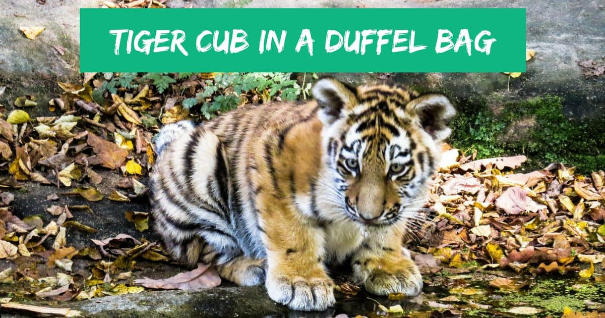 Tiger cub in a duffel bag