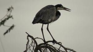 blue crane 1665304 I Love Veterinary - Blog for Veterinarians, Vet Techs, Students