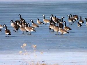 geese 533197 1920 I Love Veterinary - Blog for Veterinarians, Vet Techs, Students