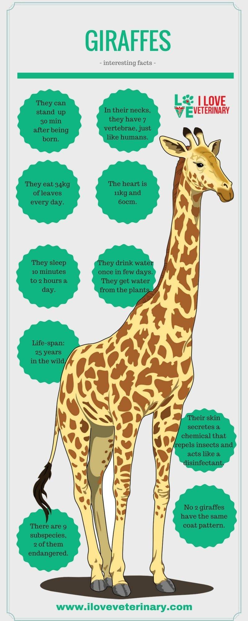 giraffes2 1 I Love Veterinary - Blog for Veterinarians, Vet Techs, Students