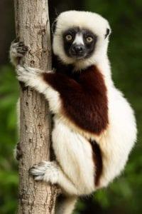 lemur 1794519 1920 I Love Veterinary - Blog for Veterinarians, Vet Techs, Students