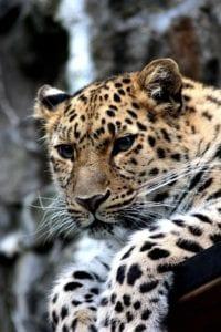 leopard 448901 1920 I Love Veterinary - Blog for Veterinarians, Vet Techs, Students