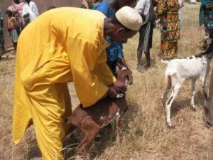 goat vaccine veterinary