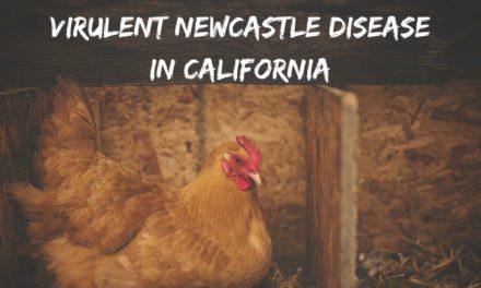 Virulent Newcastle Disease in California