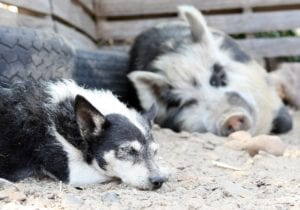 dog and pig sleeping