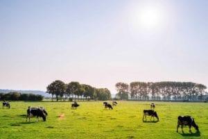 cattle on a field