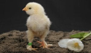 chick small