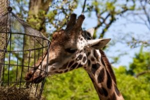 giraffe zoo eating