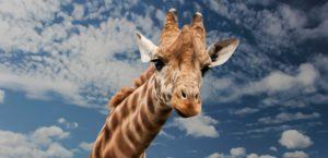 giraffe head blue sky clouds