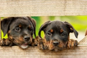 rottweiler puppies fence