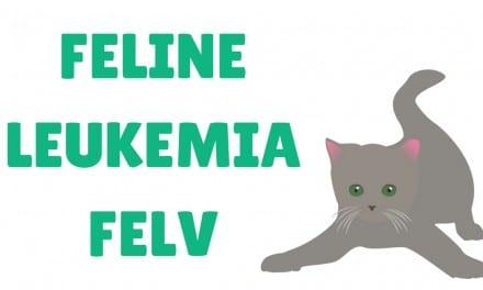 Feline Leukemia (FeLV) – Fact Sheet