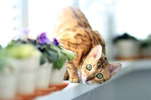bengal cat home flowers