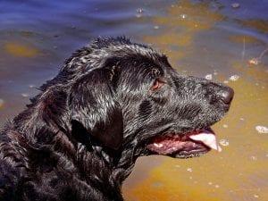 dog black labrador