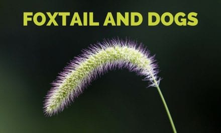 Foxtail and Dogs