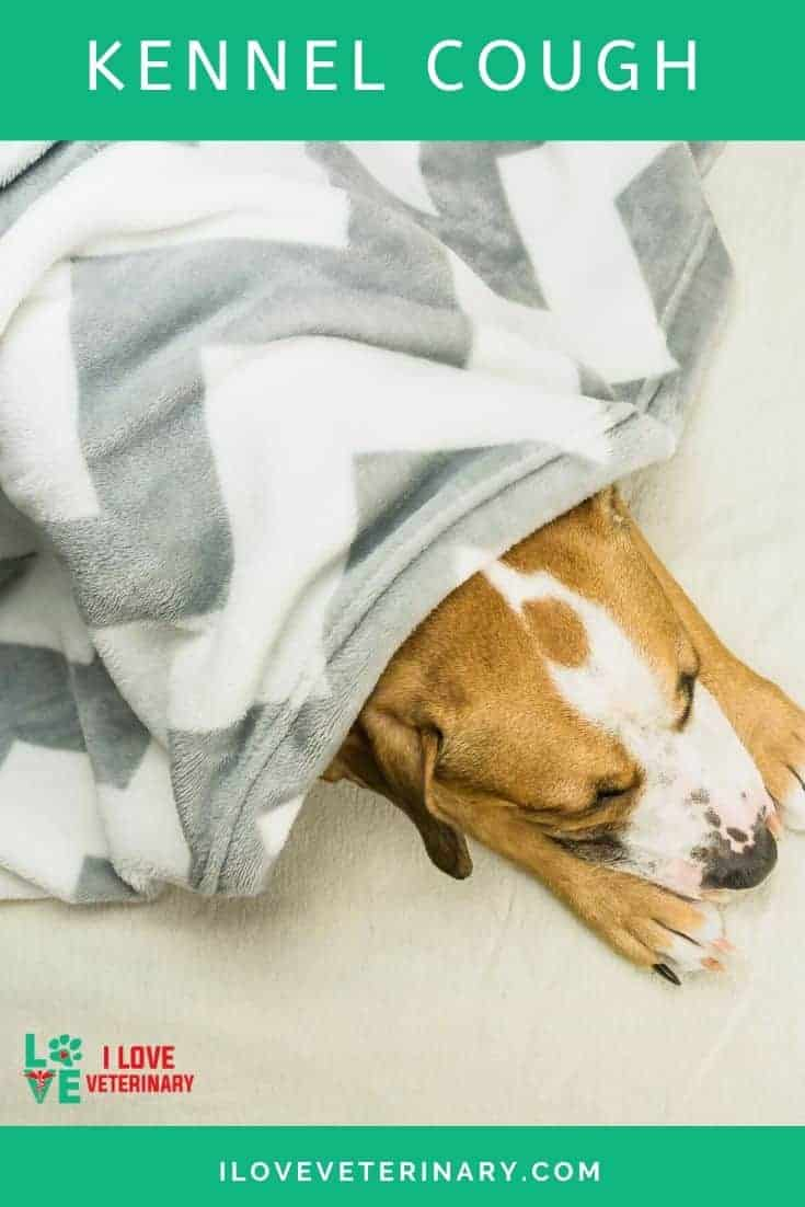 """Canine infectious tracheobronchitis, better known as """"kennel cough"""" or """"canine infectious respiratory disease"""""""