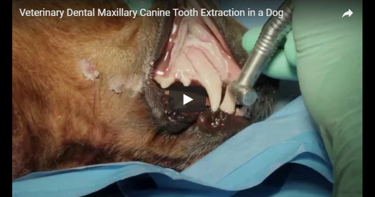 Veterinary Dental Maxillary Canine Tooth Extraction in a Dog – Video by Dr. Brett Beckman