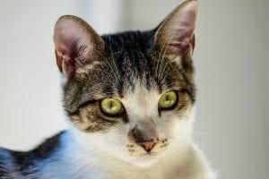 cat, green eyes, congenital blood disorder