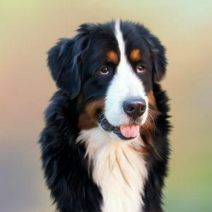National Dog Day, dog, Bernese Mountain Dog