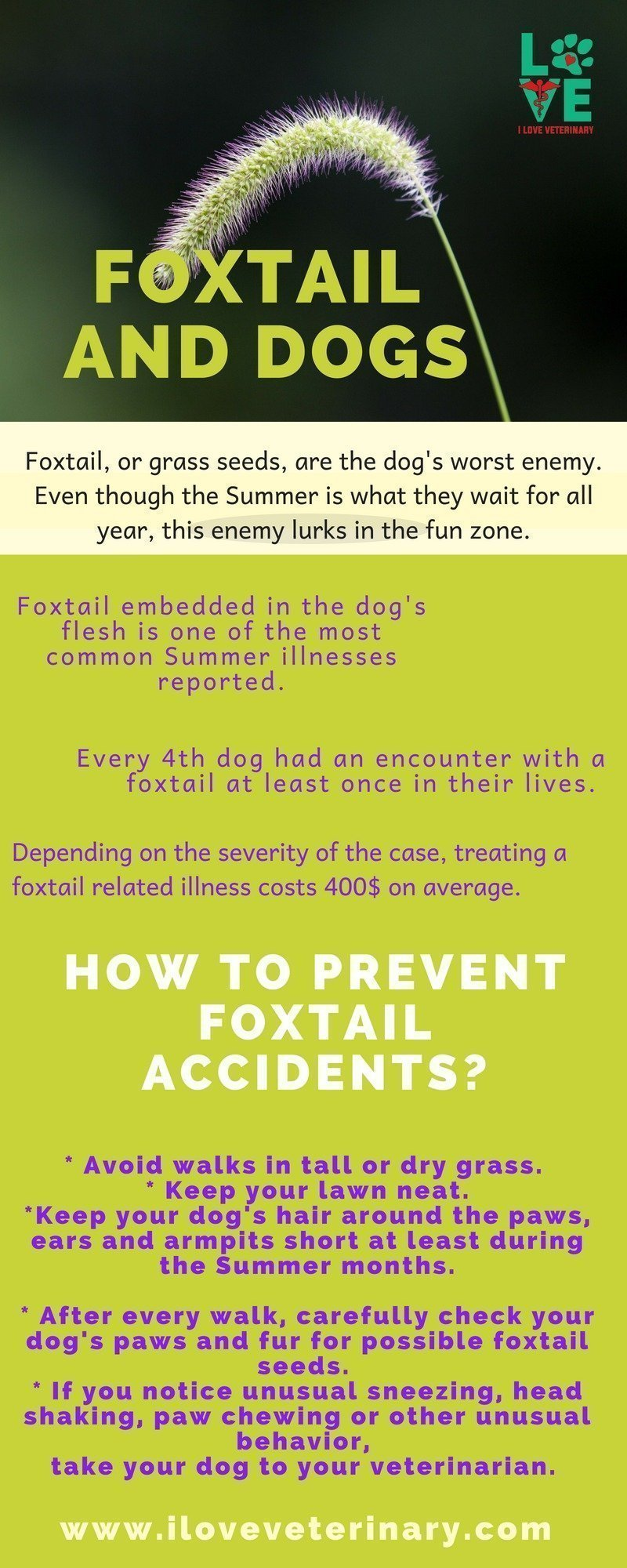 infographic, foxtail, dogs, Summer, foxtail risks