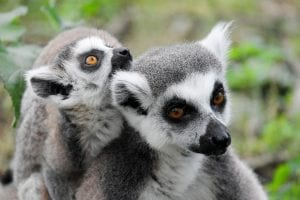lemurs, threat of extinction, bbc, endangered, lemurs are under the threat of extinction