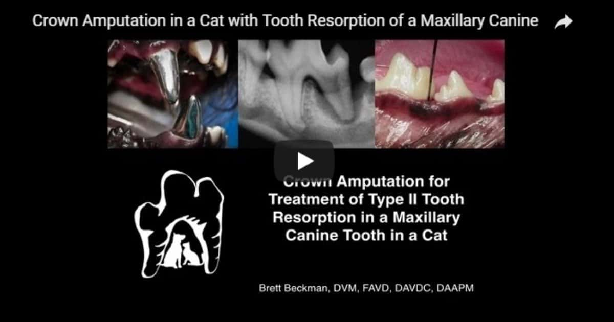 Crown Amputation in a Cat – Video by Dr. Brett Beckman