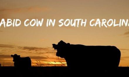 Rabid Cow in South Carolina