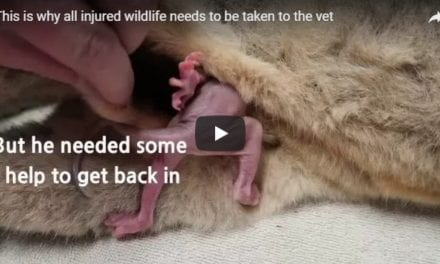 Helping injured wildlife – Video by Dr. Gerardo Poli
