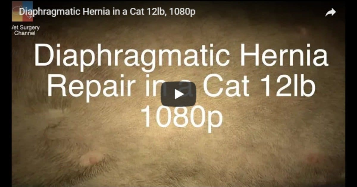 Diaphragmatic hernia in a cat – Video by Vet Surgery Channel