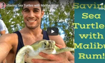 Saving Sea Turtles – Video by Dr. Evan Antin