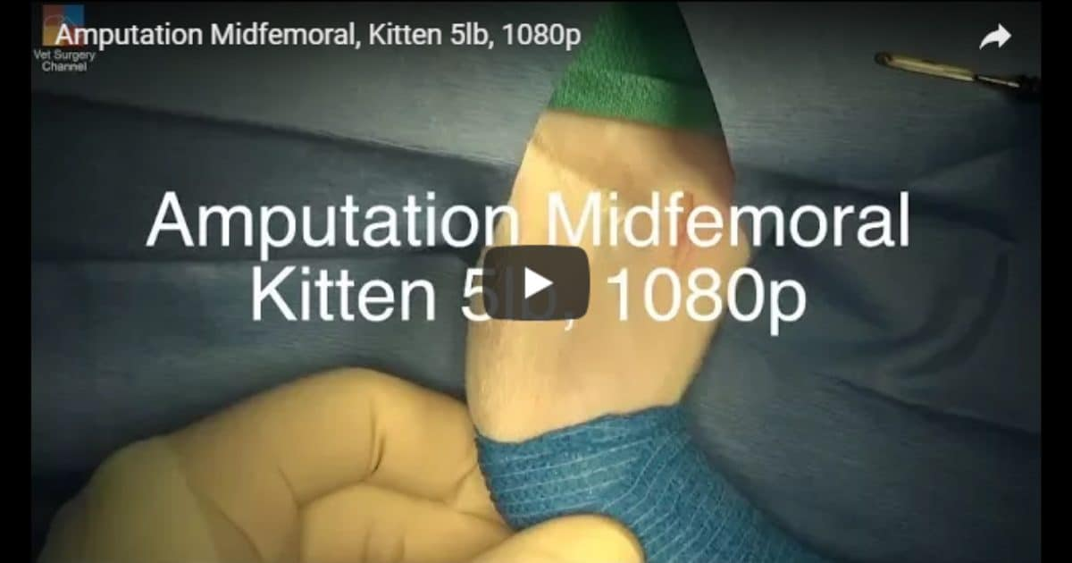 Midfemoral Amputation, Kitten – Video by Vet Surgery Channel