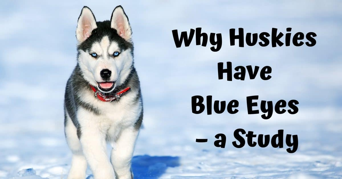 Why Huskies Have Blue Eyes