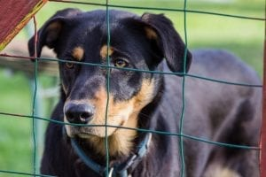 black dog behind a fence