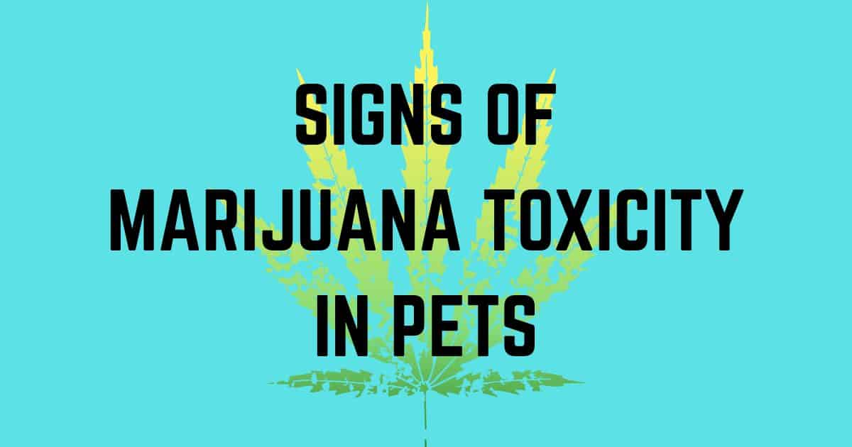 Signs of marijuana toxicity in pets