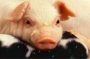 Genetic editing in pigs