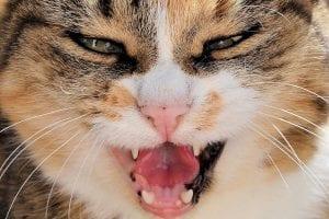 Rabies - positive cat