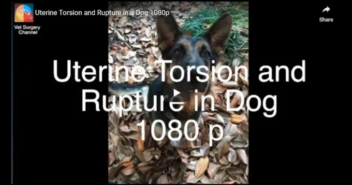 Uterine Torsion and Rupture in a Dog – Video by Vet Surgery Channel