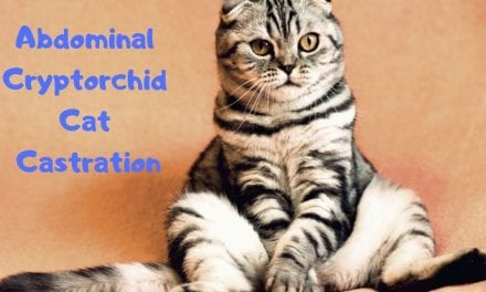 Abdominal Cryptorchid Cat Castration – Veterinary Surgery Video