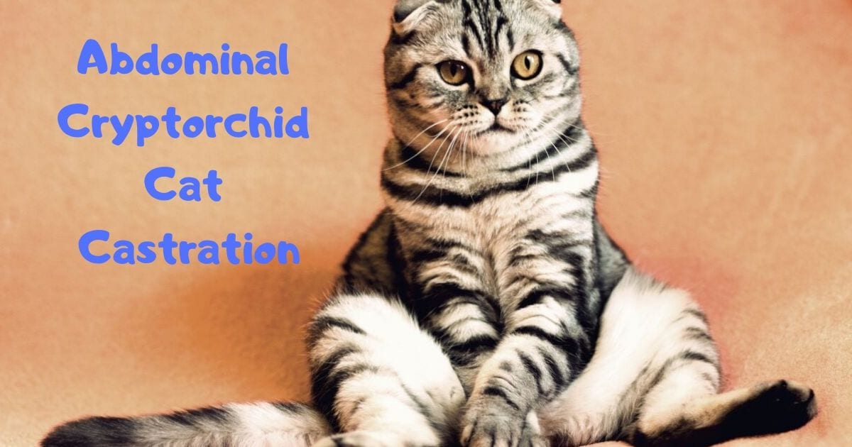 Abdominal Cryptorchid Cat Castration - Veterinary Surgery Video